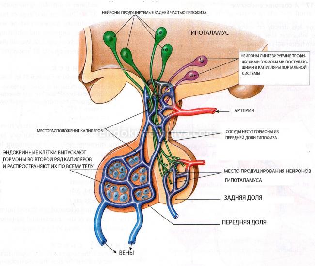 Какие сдать гормоны если подозрение на аденому гипофиза