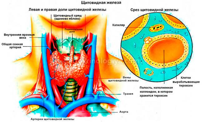 щитовидная железа в разрезе Контрольные физике Тесты