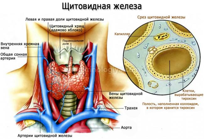 Реферат по заболеваниям щитовидной железы